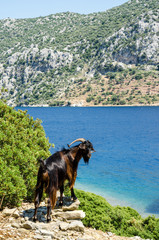 Wild mountain goat on View Camellia island in Turkey Aegean Sea water rocky coast deserted near Marmaris Ichmeler summer holiday trip panorama landscape paradise