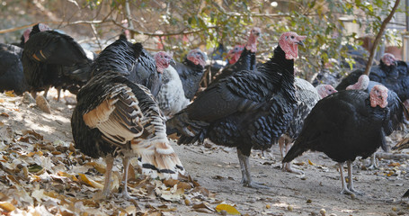 Wild Turkey in farm