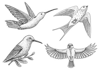 Small birds of paradise, barn swallow or martlet and parus or titmouse or great tit in Europe. Exotic tropical animal icons. Use for wedding, party. engraved hand drawn in old sketch.