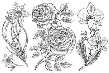 Flowers set, roses with leaves and buds and daffodil and orchid. Wedding botanical garden or plant. Vector illustration. engraved hand drawn in old victorian sketch.