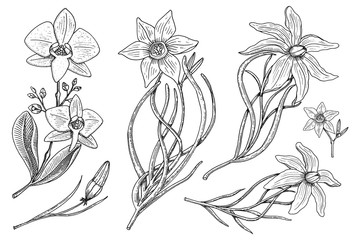 Flowers set, daffodil and orchid with leaves and buds and lily. Wedding botanical garden or plant. Vector illustration. engraved hand drawn in old victorian sketch.