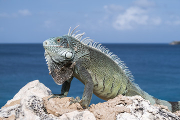 Caribbean iguana on rocks with blue sea and sky on background