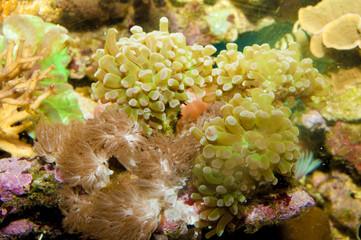 Frogspawn anemone