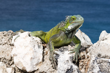 Green Iguana chilling on rocks on a cliff in Curacao.