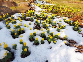 Winterlinge (Eranthis hyemalis) im Schnee, Winter. Der Fühling steht vor der Tür. Frühblüher