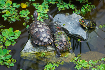Family of turtles in pond. Nature, family, relationship theme.
