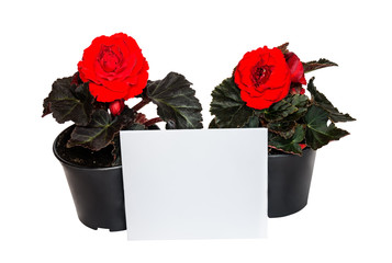 Seedlings red begonia flowers and card for notes isolated on white background