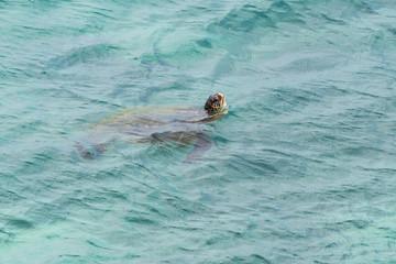 green sea turtle kauai hawaii
