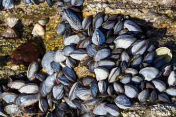 Moules accrochées à un rocher sur la côte bretonne