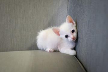 Sleepy white kitten be comfortable on gray sofa after eating goat milk.