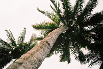 Large tropical coconut tree