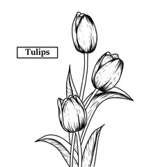 Hand drawn illustration and sketch Tulips flower. Black and white with line art illustration.Idea for business visit card, typography vector,print for t-shirt.
