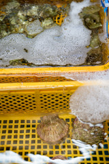Close-up detail of multiple live scallops and oysters in a yellow plastic basket underwater at a fishmonger. Vertical orientation. Nobeoka, Kyushu, Japan. Cuisine and aquaculture concept.