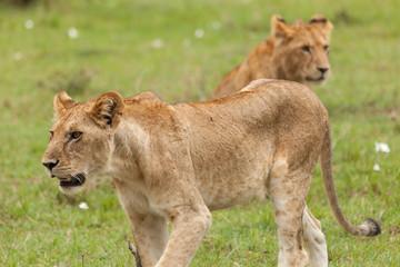 lioness prowling the grasslands of the Maasai Mara