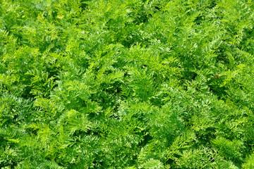 green stems of carrot leaves