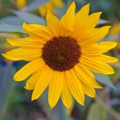 Big sunflower blooming in Croatia