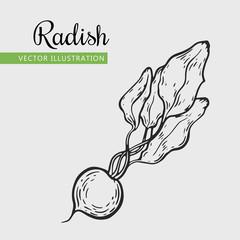 Hand drawn isolated radish