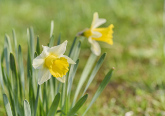 Jonquil in meadow. Spring flower and defocused nature green in background.