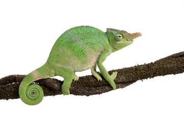 Zweihornchamäleon - Two-horned Chameleon