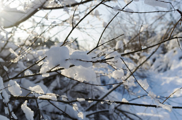 A branch with a kidney covered with ice
