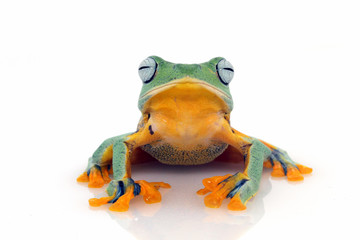 Tree frog, flying frog, frog on white background