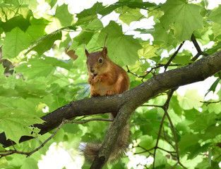 Red squirrel eating a nut on a tree branch
