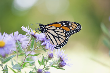 Monarch butterfly in natural setting feeding on Aster flowers