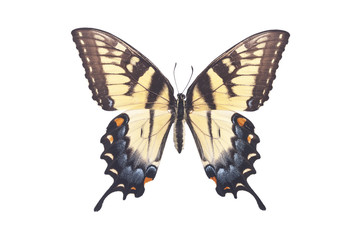 Swallowtail Butterfly Papilio Glaucus Glaucus Female Isolated on White