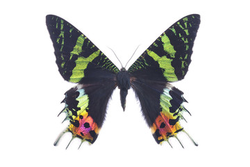Butterfly Urania Ripheus female Sunset Moth Isolated on White