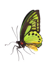 Butterfly: O priamus poseidon, Arfak Family: Ornithoptera, The Birdwings Origin: Indonesia