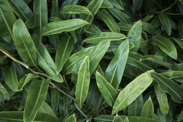 Philodendron glaziovii