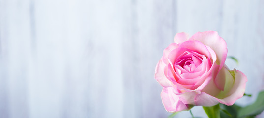 Single rose flower in front of light wooden background