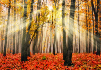 autumn forest. a misty morning in a picturesque autumn forest. Sun rays