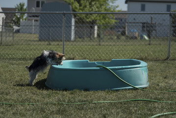 Side view of Yorkshire Terrier rearing up on wading pool at backyard