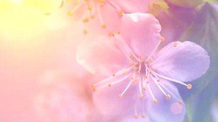 Fotoväggar - Easter scene. Spring cherry tree flowers blossom. Pink blossoming cherry closeup. Time lapse. 4K UHD video footage. 3840X2160