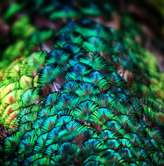 The peacock feather background