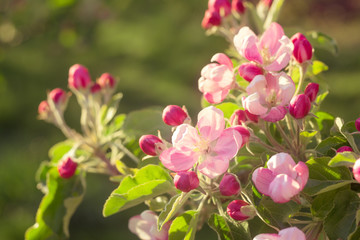 flower peach apple  pink color. Flowering  apple tree branch spring in the sun.