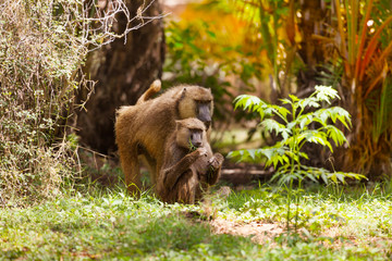 Family of Anubis baboon feeding in savanna bushes