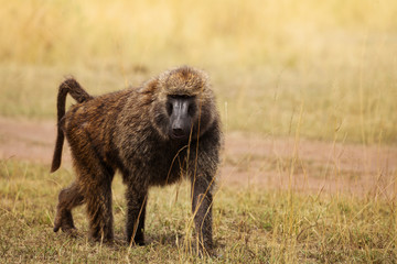 Adult Olive baboon foraging in arid grassland