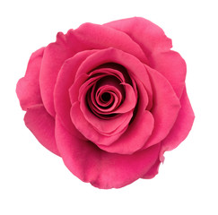 Pink Rose Blossom Isolated on White