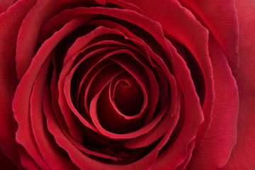 Red Rose Flower Head Background