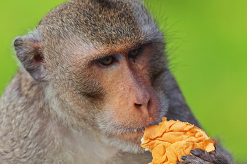 Monkey eating bread