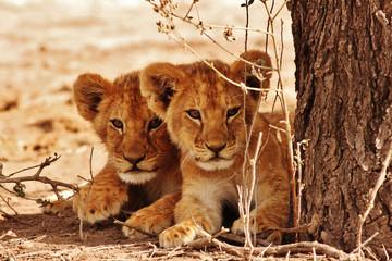 Fototapeten Löwe Lion cubs