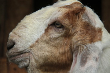 photos of goats up close