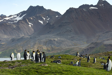 King Penguins standing in lush grass in the foreground with rugged mountains in the background.