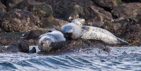 Fototapete - Seal