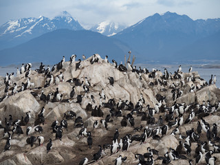 A Colony of Cormorants on rocky terrain with rugged snowy mountains in the background. Photographed in the Beagle Channel in Argentina.