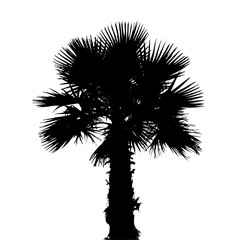 silhouette of palm tree / cycad
