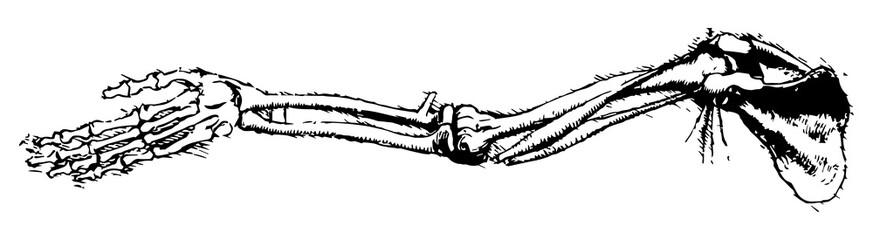 arm bones rough sketch [vector]