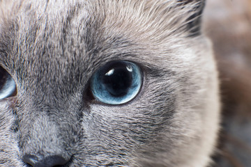 Gray Siamese cat with blue eyes staring on something.